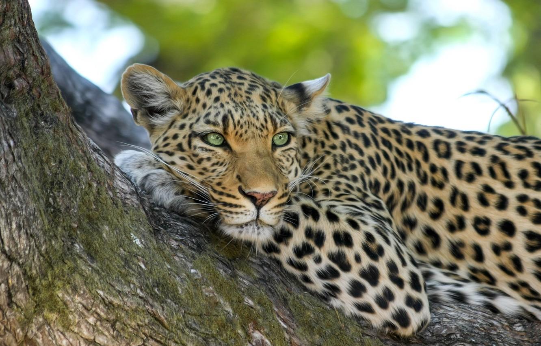 Фото обои взгляд, морда, дерево, леопард, лежит
