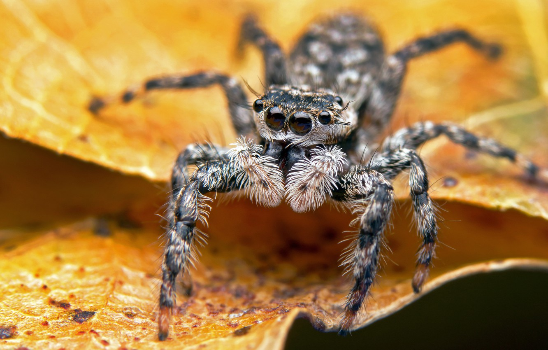 Фото обои взгляд, листья, макро, желтый, фон, паук, джампер, прыгунчик, мохнач