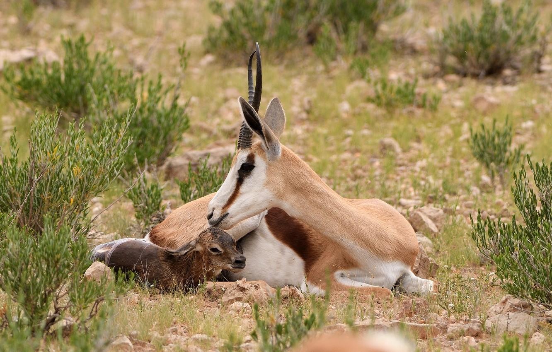 Фото обои рога, детеныш, мама, газель