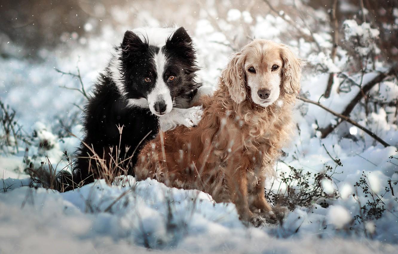 Фото обои зима, животные, собаки, снег, природа, пара, кусты, спаниель, бордер-колли