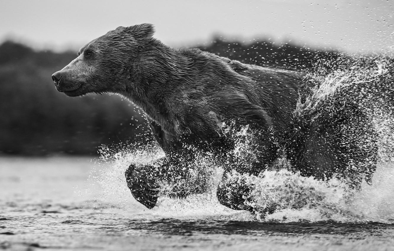 Фото обои вода, брызги, мокрый, медведь, бег, мишка, чёрно - белое фото