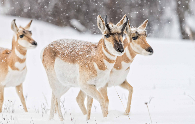 Фото обои зима, снег, прогулка, трио, снегопад, вилорог, вилорогая антилопа