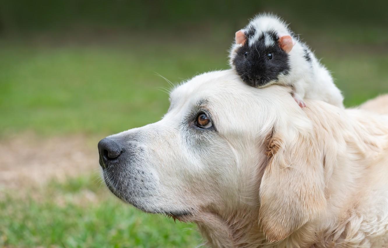Фото обои морда, собака, морская свинка, боке, Голден ретривер, Золотистый ретривер