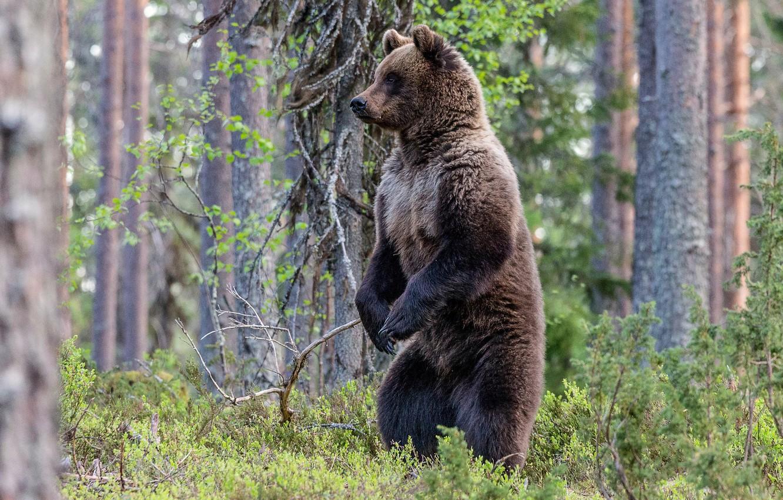 поэтому фото большого медведя в лесу за деревом шаг проектировании
