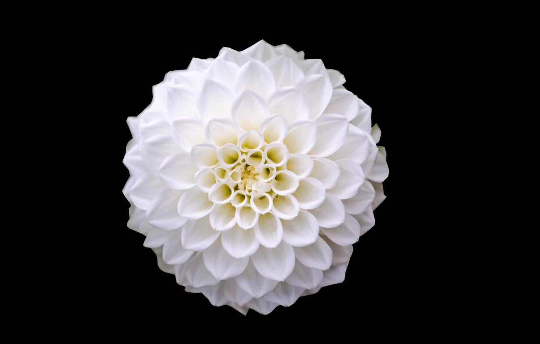 Фото обои белый, цветок, крупный план, красота, лепестки, white, черный фон, flower, close-up, beauty, petals, black background, …