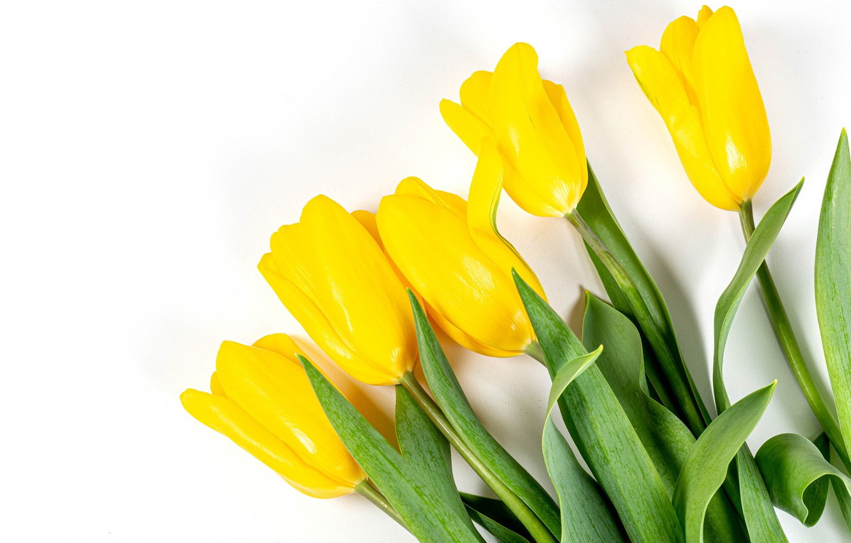 Фото обои тюльпаны, белый фон, бутоны, жёлтые