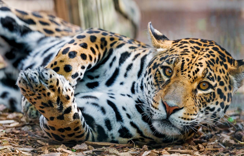 Фото обои взгляд, поза, лежит, ягуар