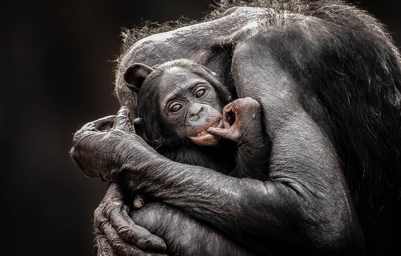 Фото обои love, monkey, hug, baby, mom, chimpanzee