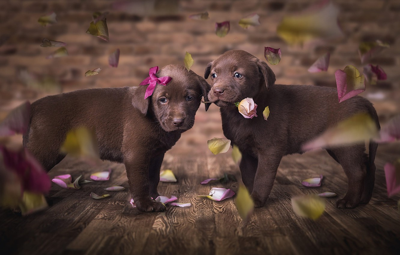 Фото обои собаки, цветок, взгляд, любовь, цветы, поза, темный фон, фон, доски, роза, красота, глазки, лепестки, щенки, …