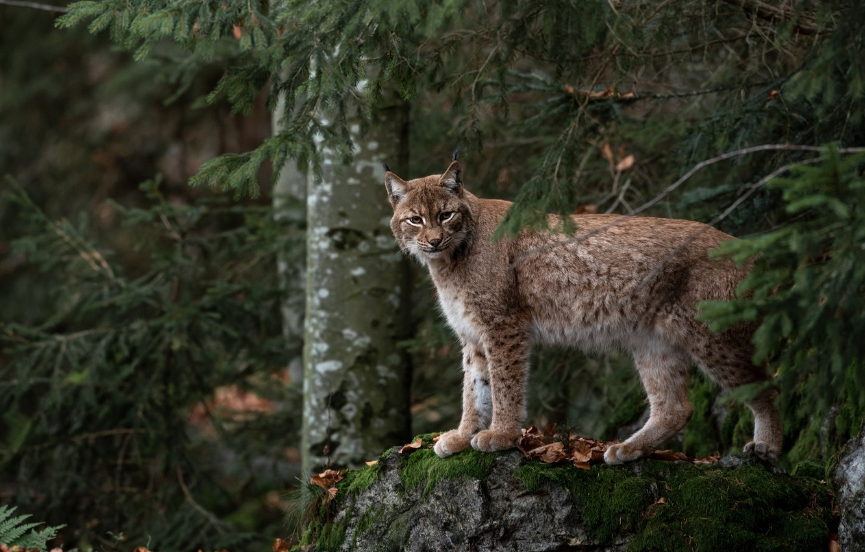 Фото обои осень, лес, взгляд, деревья, поза, темный фон, заросли, листва, камень, мох, ели, рысь, дикая кошка