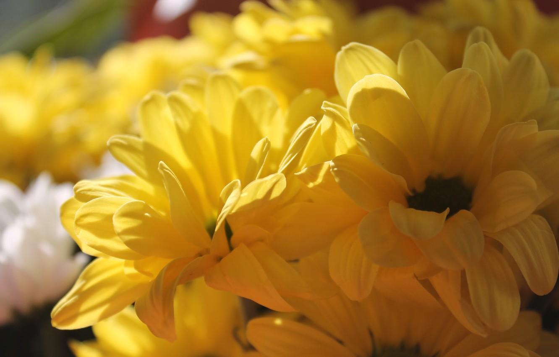 Фото обои лето, солнце, хризантемы, желтые цветы, желтые хризантемы