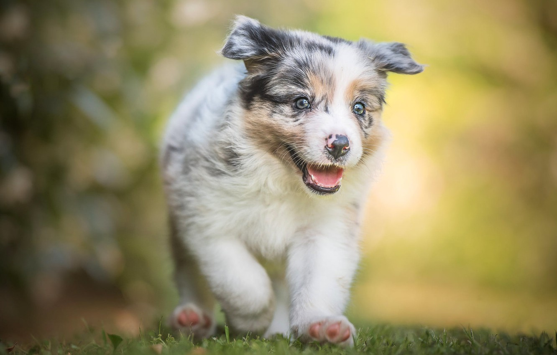 Фото обои язык, белый, лето, трава, взгляд, морда, свет, счастье, желтый, зеленый, фон, портрет, собака, лапы, малыш, …
