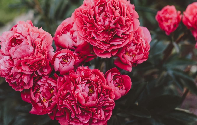 Обои цветы, блюдце, пионы. Разное foto 15