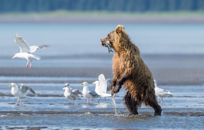 Фото обои птицы, река, чайки, рыба, медведь, улов