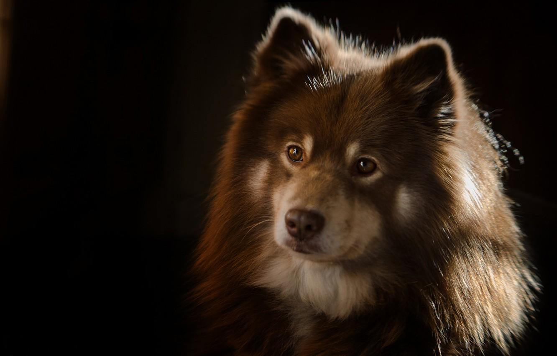 Обои Собака, Финский лаппхунд, морда. Собаки foto 15