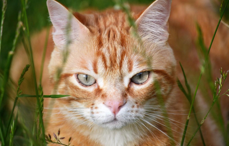 Фото обои кот, взгляд, рыжий, мордочка, котэ, травинки