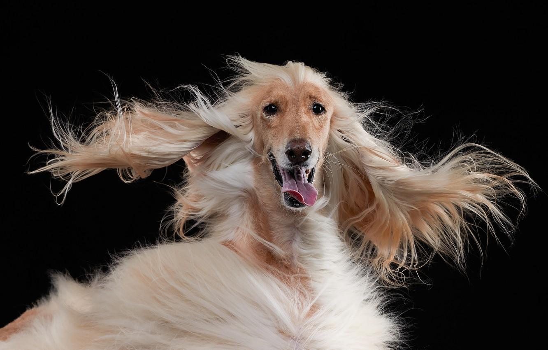 Фото обои язык, морда, собака, шерсть, уши, чёрный фон, лохматая, Лана Полякова, Афганская борзая