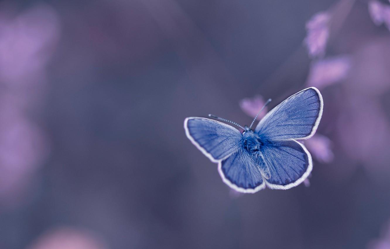Фото обои фон, бабочка, Голубянка Икар