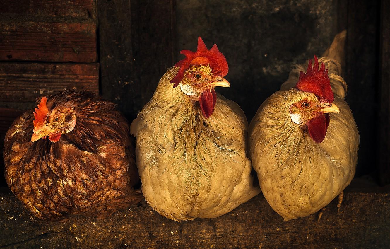 Фото обои обработка, курица, три, курятник, трио, курицы, петух, сидят, куры, наседки