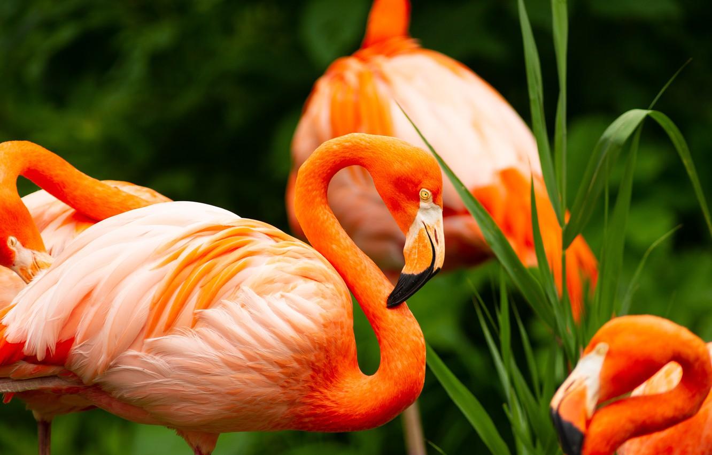 Фото обои птицы, клюв, фламинго, шея