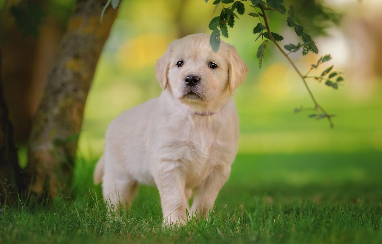 Фото обои белый, трава, взгляд, листья, дерево, газон, поляна, собака, ветка, малыш, мордочка, щенок, прогулка, лабрадор, милашка, …