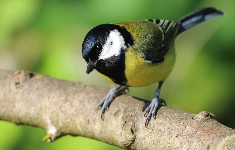 Фото обои фон, птица, ветка, синица