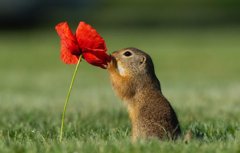 Фото обои цветок, трава, природа, животное, мак, суслик, зверёк, грызун