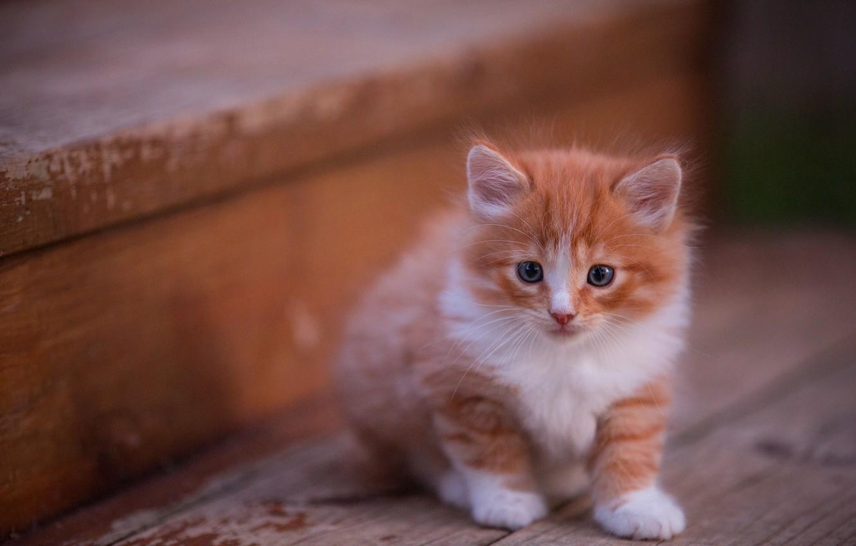 Фото обои кошка, взгляд, поза, котенок, фон, доски, пушистый, рыжий, мордочка, ступени, котёнок, сидит, голубоглазый