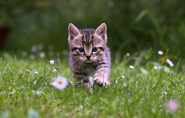 Фото обои grass, kitten, cat