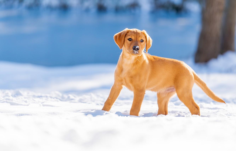Фото обои зима, снег, собака, щенок, Лабрадор-ретривер