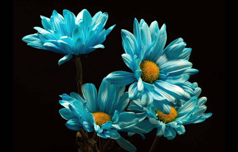 Фото обои цветы, хризантемы, тёмный фон
