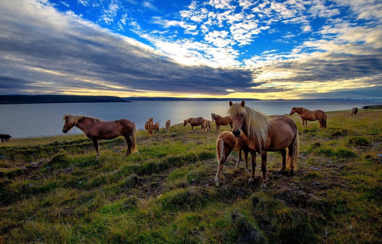 Фото обои море, закат, лошади