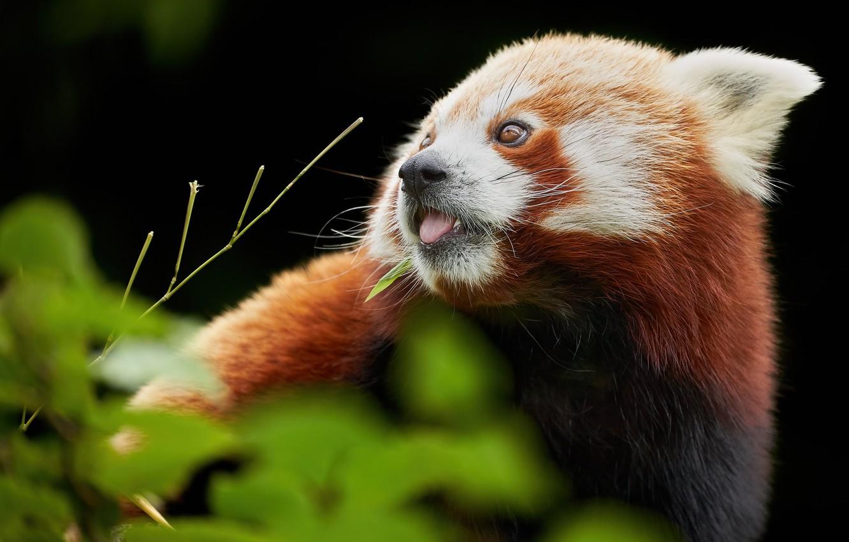 Фото обои мордашка, Красная панда, Малая панда