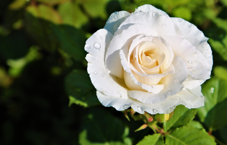 Обои бутон, цветок, Вода, свет, капли. Цветы foto 8