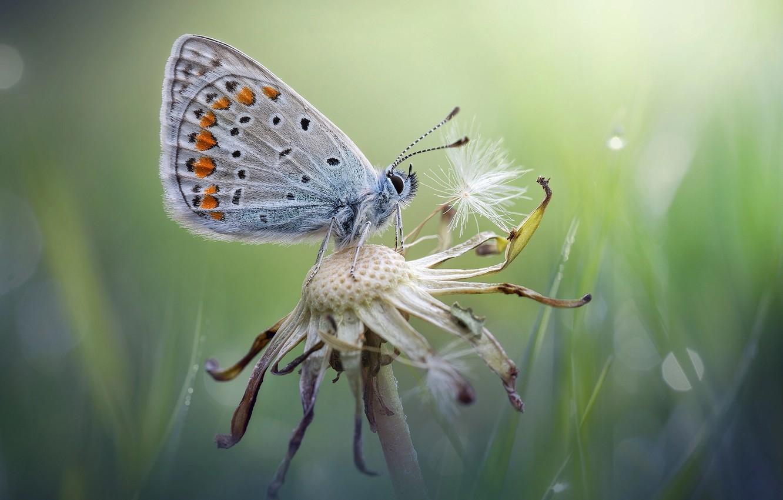 Фото обои лето, макро, одуванчик, бабочка, оБдуванчик