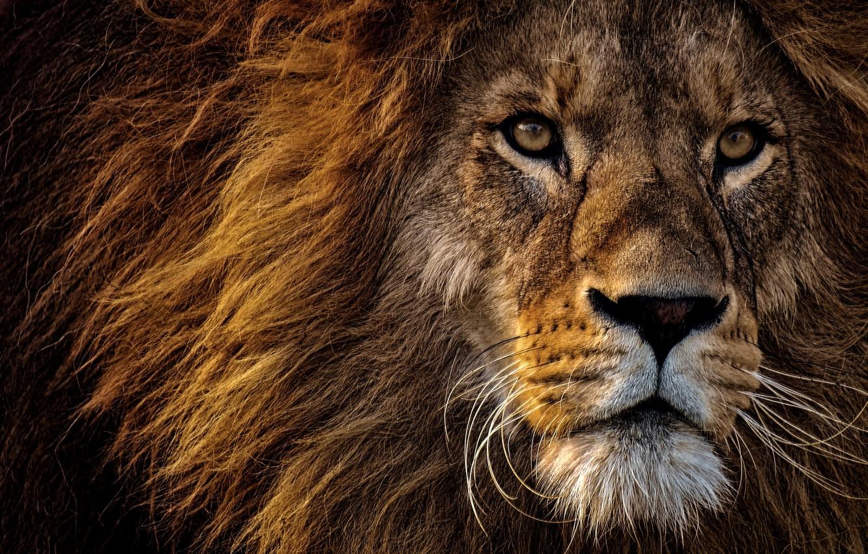 Фото обои взгляд, морда, крупный план, портрет, лев, грива, царь зверей, дикая кошка