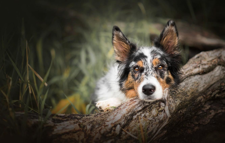 Фото обои лес, трава, взгляд, морда, природа, поза, фон, дерево, портрет, собака, лежит, коряга, бревно, кора, размытый, …