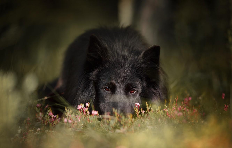 Фото обои трава, взгляд, морда, природа, животное, собака, пёс, грюнендаль