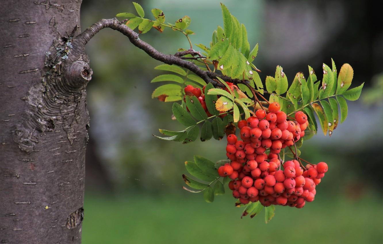 Фото обои ягоды, дерево, ветка