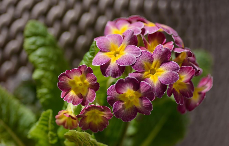 Фото обои листья, макро, цветы, лепестки, цветение, боке, кашпо, примула