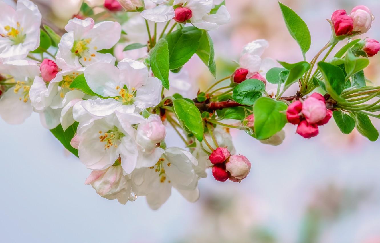 Фото обои дождь, капля, apple, весна, яблоня, цветение, macro, drops, spring, bloom