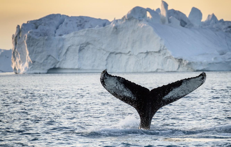 Фото обои tail, iceberg, whale, greenland
