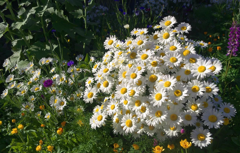 красивые фотографии с цветами ромашки приколы про
