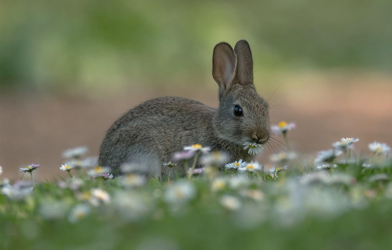 Фото обои трава, заяц, ромашки, луг, боке