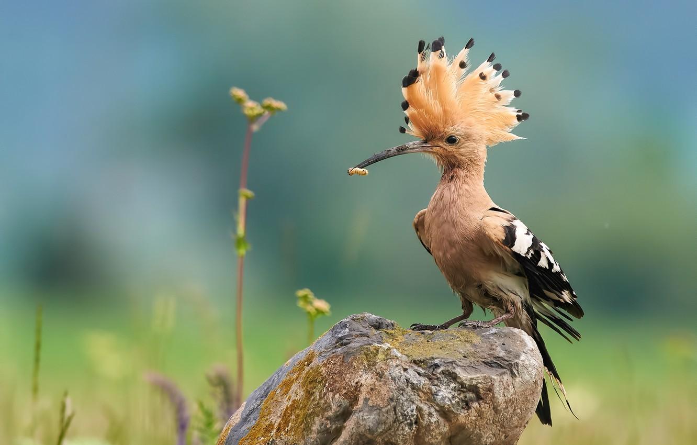 Фото обои природа, птица, камень, удод, Ботев Калин
