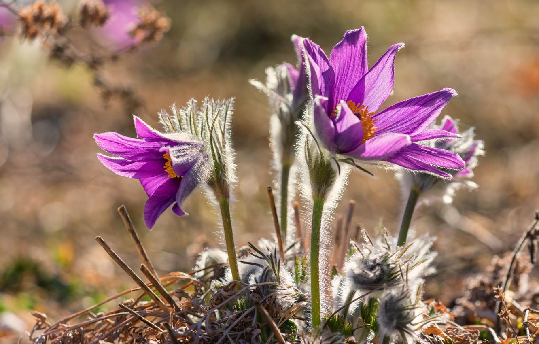 Обои сон великий, первоцвет, Весна, цветок. Цветы foto 12