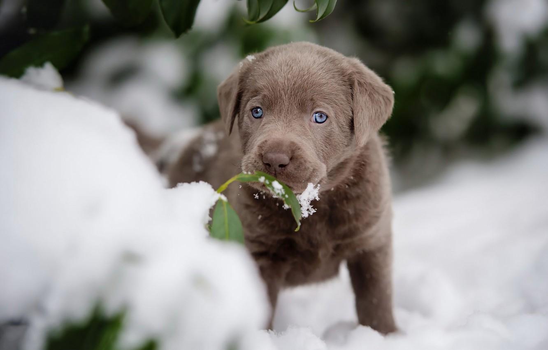 Фото обои зима, листья, снег, листок, собака, маленький, малыш, мордочка, милый, щенок, коричневый, ретривер, голубоглазый