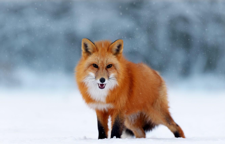 Фото обои зима, снег, природа, животное, лиса, лисица