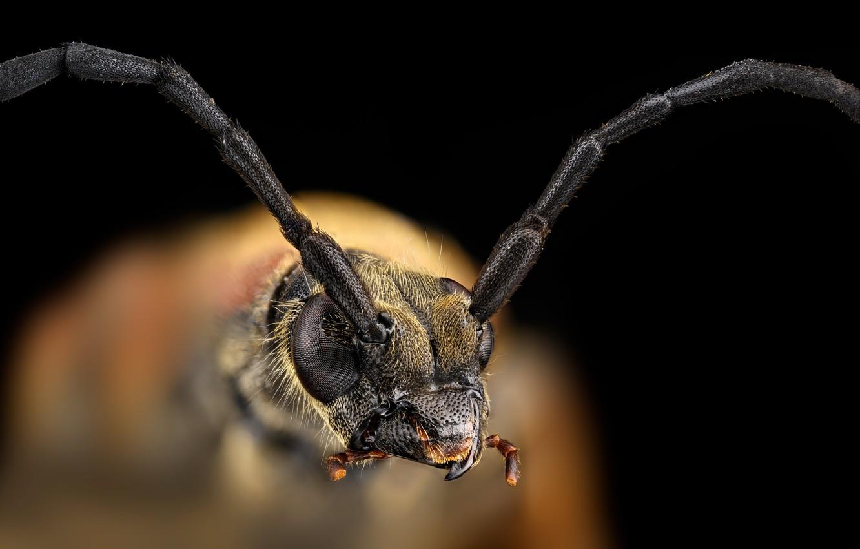 Фото обои макро, насекомое, Черноногая лептура