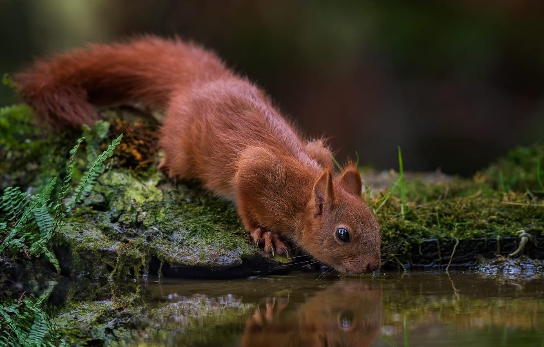 Фото обои вода, природа, отражение, животное, мох, белка, водопой, водоём, зверёк, грызун, Tamas Hauk